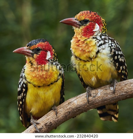 Couple of two colorful Red and yellow barbets  - stock photo