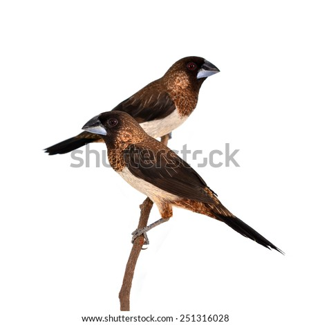 Couple of White-rumped Munia (Lonchura striata) perching on a branch isolated on white background - stock photo