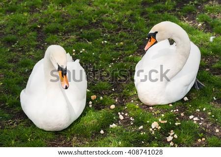 Couple of white swan - stock photo