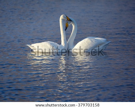 Couple of white whooper swans Cygnus cygnus  on lake  - stock photo