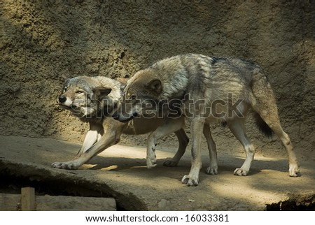 Couple of wolfs - stock photo