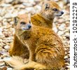 Couple of yellow mongoose - stock photo