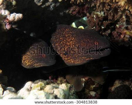 Couple of yellowmargin morays under ledge - stock photo