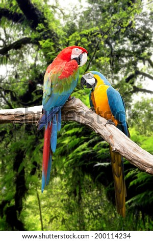 Couple parrots macaw in the rainforest - stock photo