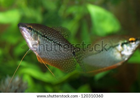 Couple Pearly gourami (Trichogaster leeri) in an aquarium - stock photo