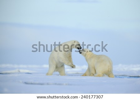 Couple polar bears fighting on drift ice with snow and blue sky in Arctic Svalbard