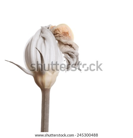 Courgette flower isolated on white. delicate blossom bud used in gourmet cooking - stock photo