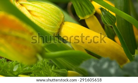Courgette plant (Cucurbite pepo) with yellow fruits in the garden - stock photo