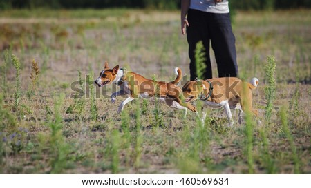 Coursing dogs. Basenji dog runs after the bait on the field. Summer sunny evening