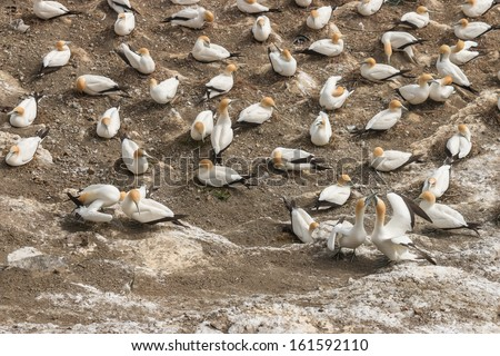 courting gannets in colony on cliffs - stock photo