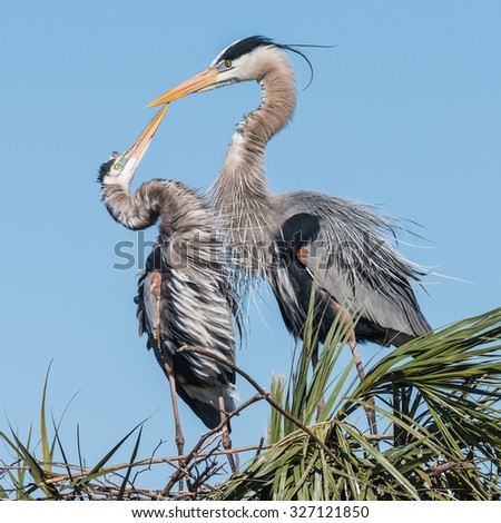 Courting herons,, Viera Wetlands, Florida Space Coast - stock photo