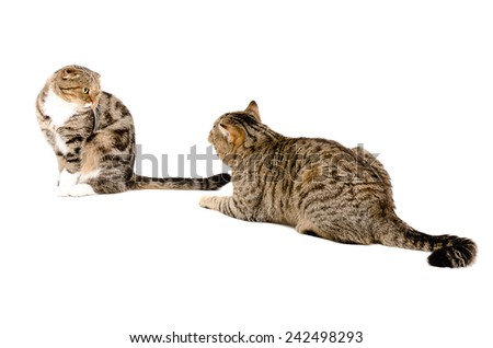 Courtship cats. Cat Scottish Straight is recognized in love cats Scottish Fold.