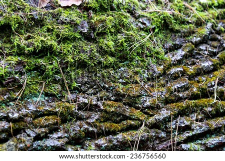 Covered with moss bark closeup of oak tree - stock photo