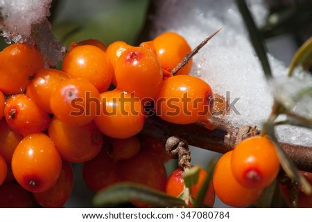 covered with snow wild sea buckthorn - stock photo