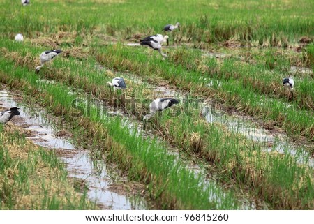 Covey of egret on harvested rice field - stock photo