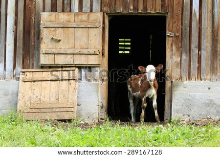 Cow, a young calf standing at the door of a barn - stock photo