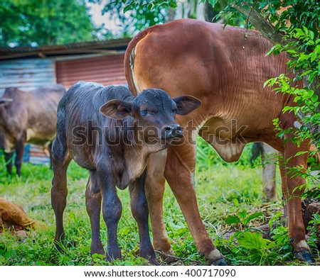 cow and calf  in nature. - stock photo