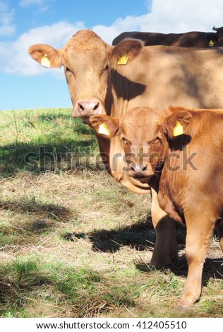 cow and calf on a meadow - stock photo