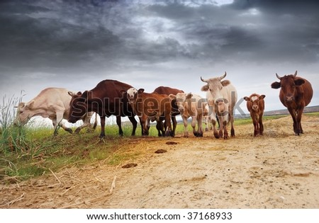 cow and calves with clouds in the back - stock photo