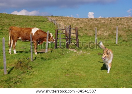 Cow and collie dog  in a field - stock photo