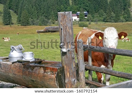 Cow and milk - stock photo