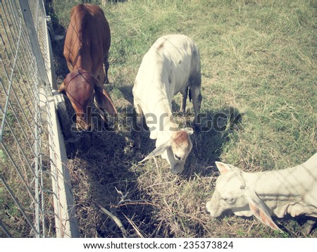 cow and ox in rural - stock photo