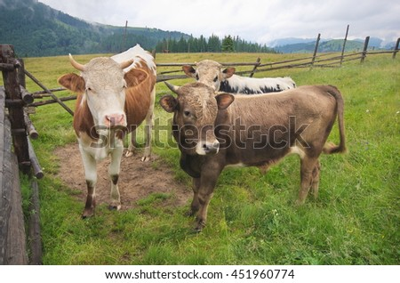 Cow and two calf closeup. Mountain grassland with grazing cows in summer pasture. Cows on farm. Agricultural composition, Carpathians, Ukraine - stock photo