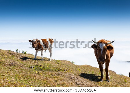 Cow and veal pasture in the mountains madeira - stock photo