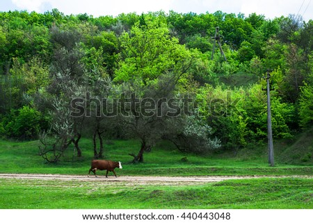Cow, animal in the farm on the grass meadow, field, grazing. Mammal cattle in summer on rural green nature on dairy. Landscape with pasture, sky. Farming beef.