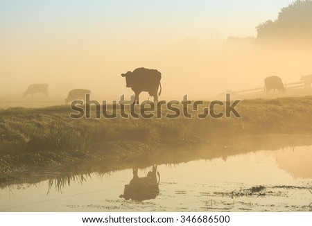 Cow at canal during a foggy and tranquil sunrise. - stock photo