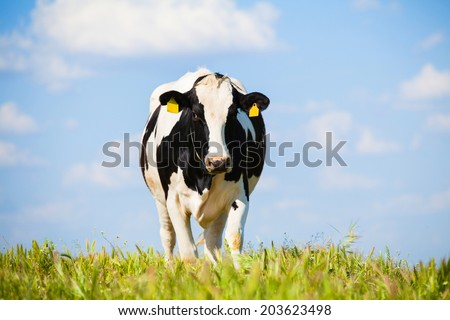 Cow at countryside in spring. Green grass and blue sky with clouds in the background. - stock photo
