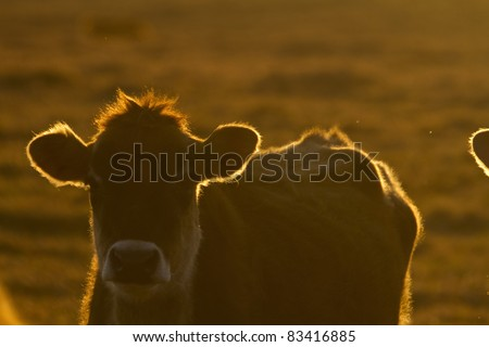 Cow at dusk with the setting sun. - stock photo