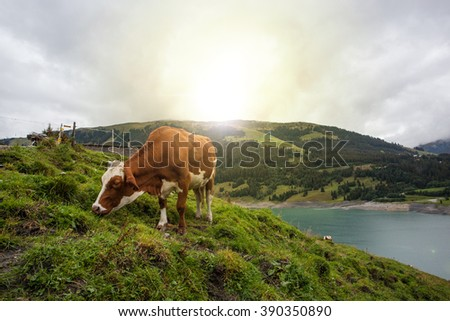 Cow at farmland during the spring time - stock photo