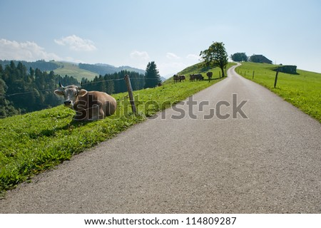 Cow at the road in the countryside