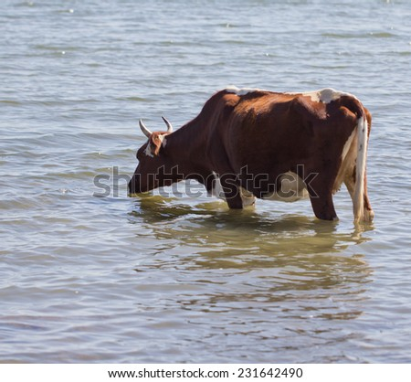 cow at the watering in lake