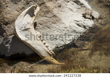 Cow Bones and Teeth Leh Ladakh ,India - September 2014 - stock photo