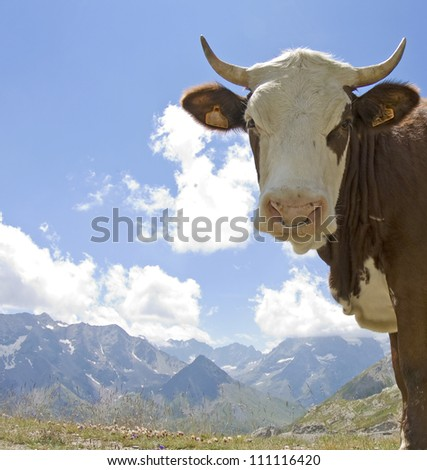 Cow, cattle livestock in French Alps. France. - stock photo