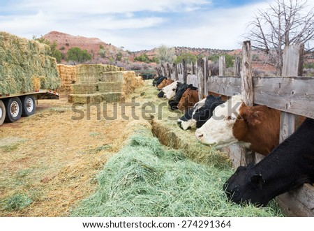Cow chewing on one side, the other warehouse hay. America, Utah - stock photo