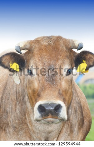 Cow close up - stock photo