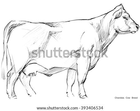 Cow. Cow sketch. Dairy cow pencil sketch. Animal farm. Charolais Cow Breed - stock photo