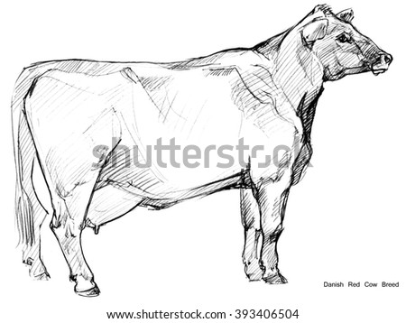 Cow. Cow sketch. Dairy cow pencil sketch. Animal farm. Danish Red Cow Breed - stock photo