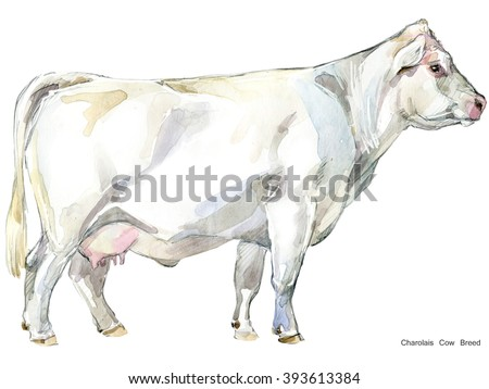 Cow. Cow watercolor illustration. Milking Cow Breed. Charolais Cow Breed - stock photo