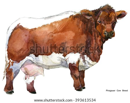 Cow. Cow watercolor illustration. Milking Cow Breed. Pinzgauer Cow Breed - stock photo