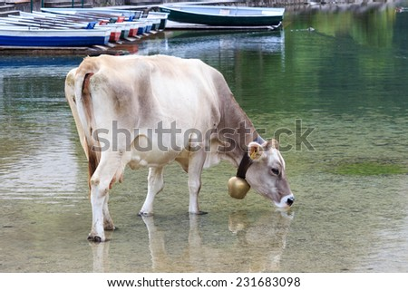 Cow drinking from the Vilsalpsee - stock photo