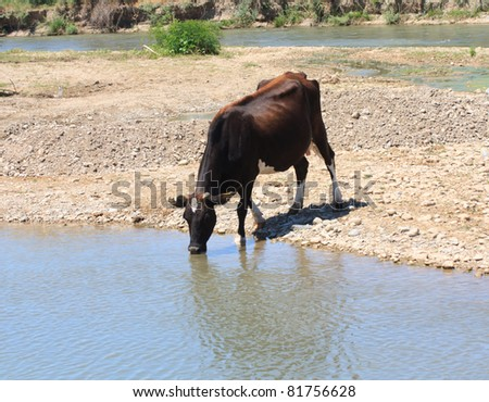 cow drinks water from a river