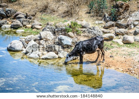 Cow drinks water. Socotra Island, Yemen. UNESCO World Heritage