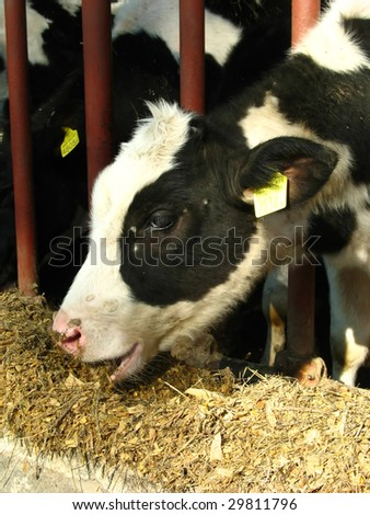Cow eating fodder on the farm - stock photo
