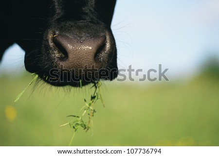 Cow eating grass - stock photo