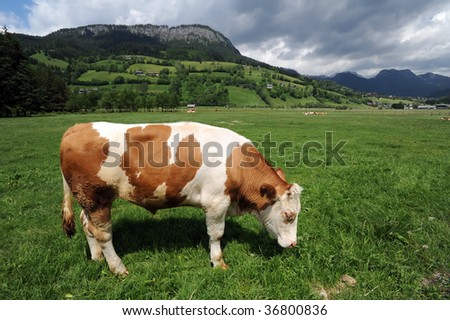 Cow eating grass in beautiful Austrian Alps landscape - stock photo