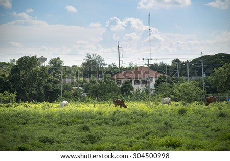 cow eating grass near people house